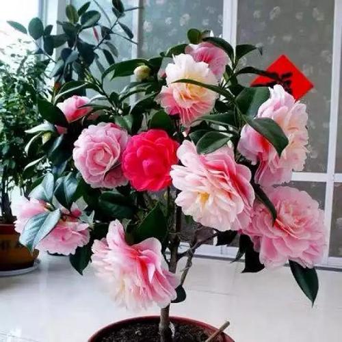 Vị trí đặt chậu hoa trà ngũ sắc mang lại tài lộc