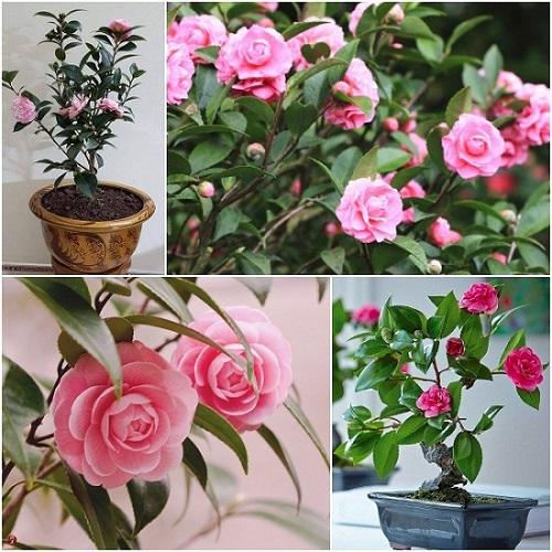 Hướng dẫn trồng và chăm sóc cây hoa trà ngũ sắc