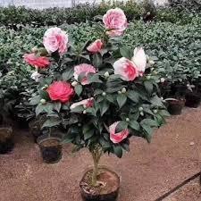 Cây hoa trà ngũ sắc có đặc điểm gì?