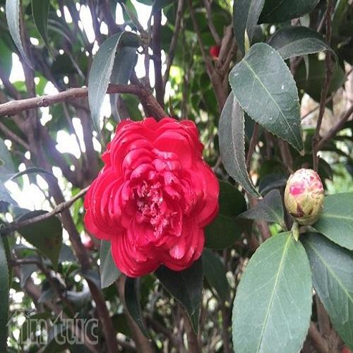 Đặc điểm của cây hoa trà thâm bát diện