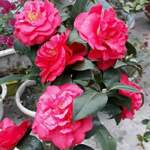 Đặc điểm cây hoa trà cung đình