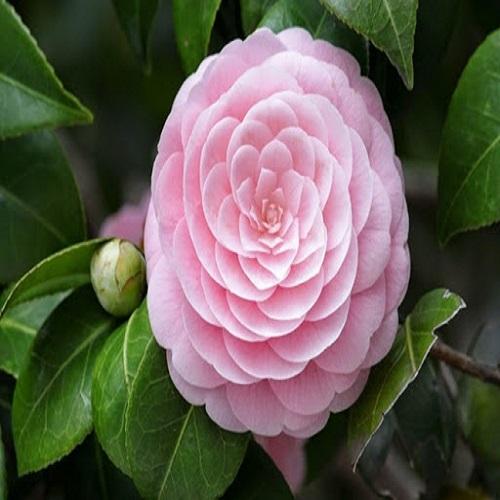 Cây hoa trà cung đình là gì?
