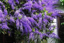 Kỹ thuật chăm sóc cây mai xanh giúp cây nở hoa đẹp