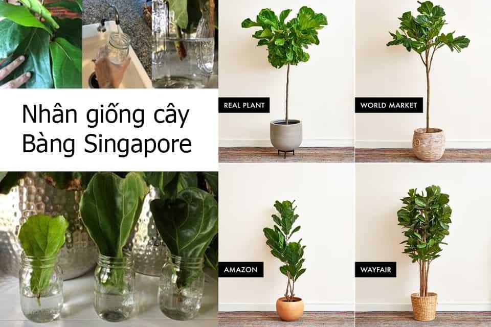 Những lưu ý khi chiết cành bàng Singapore
