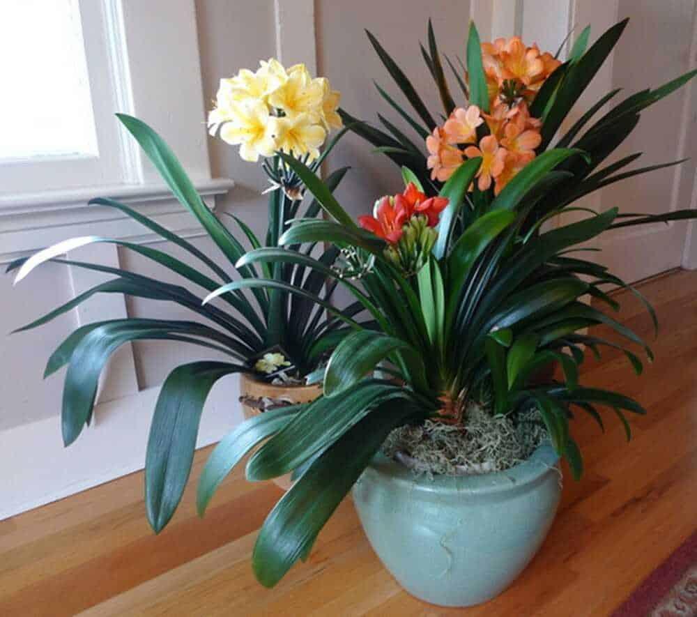 Cây lan quân tử thường ra hoa vào mùa nào?
