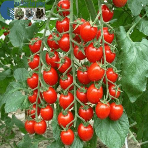 Kỹ thuật trồng cà chua thân gỗ