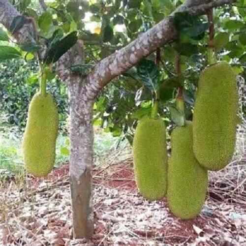Mua giống cây mít Malaysia