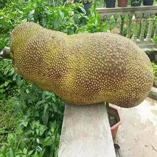 Cách để cây mít Malaysia sinh trưởng và phát triển tốt