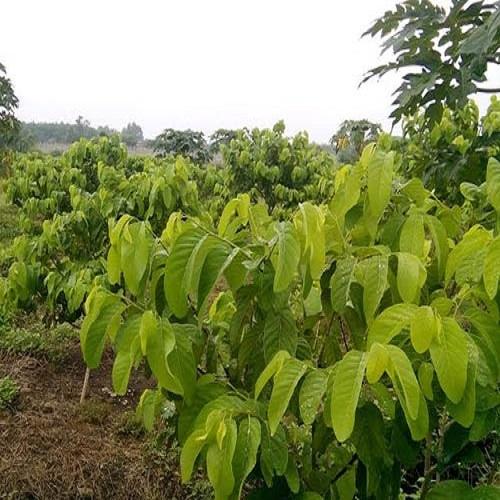 Hướng dẫn cách trồng và chăm sóc cây na thái