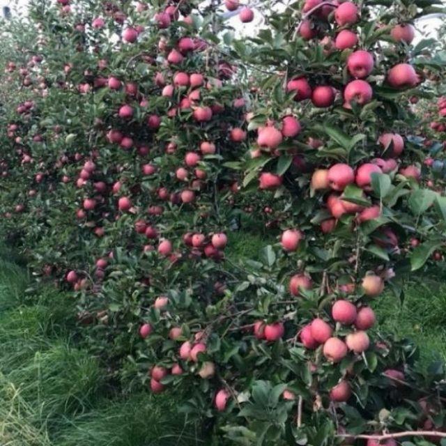 Kỹ thuật trồng táo đỏ lùn