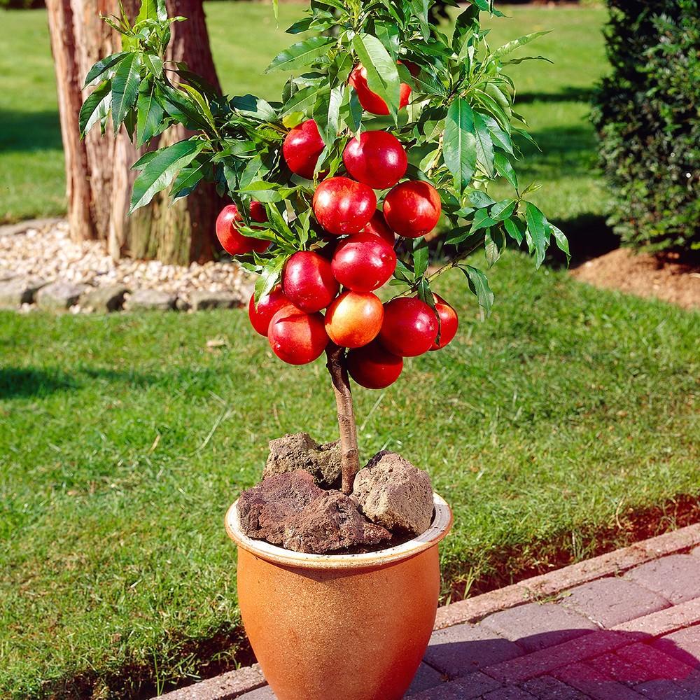 Chăm sóc cây táo đỏ lùn như thế nào?