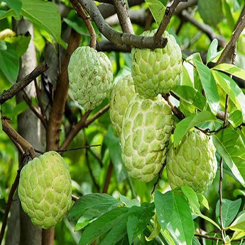 Giống Na Thái chất lượng cao – Nhanh có trái, tốt sức khỏe