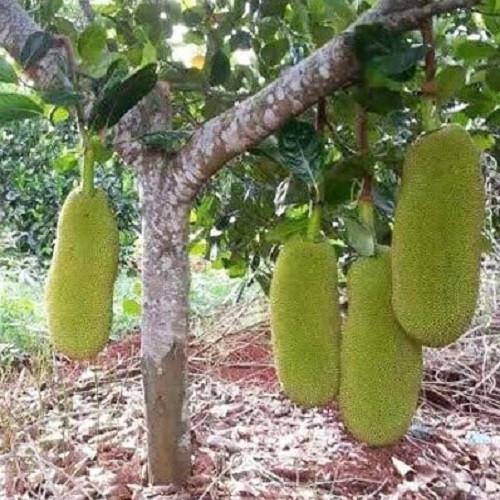 Trồng cây mít Malaysia – Giá trị kinh tế cao và bền vững