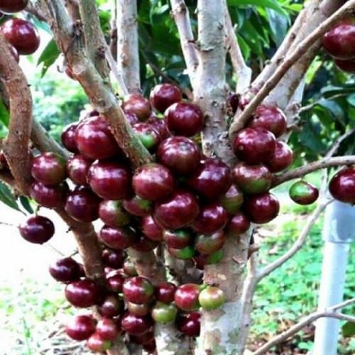 Mua giống Nho thân gỗ tứ quý dễ trồng, nhanh ra trái