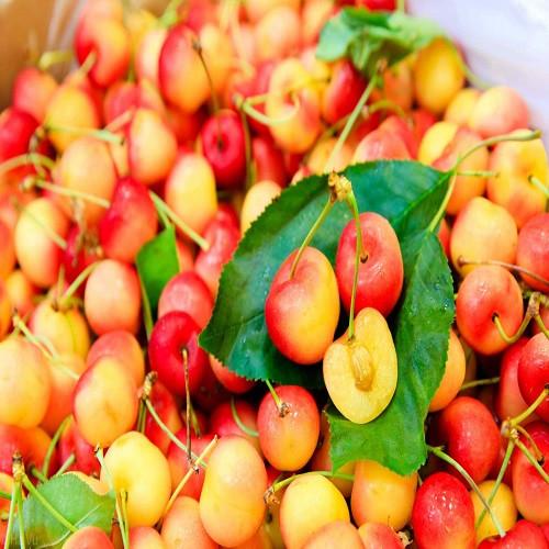 Mua giống Cherry vàng uy tín – Hướng dẫn trồng quả cherry vàng