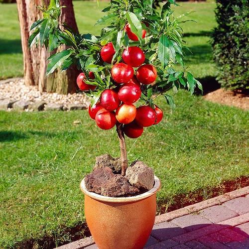 Táo đỏ lùn là gì? Cách chăm sóc táo đỏ lùn tại nhà