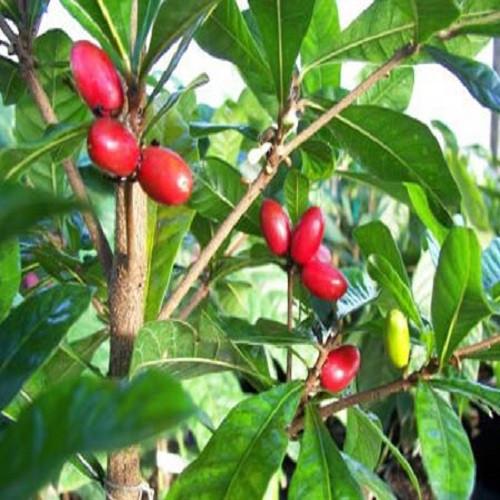 Giống cây thần kỳ - Hướng dẫn trồng và chăm sóc