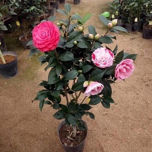 Hoa trà ngũ sắc - Hướng dẫn cách trồng và chăm sóc