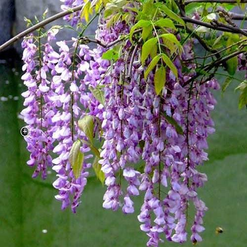 Tử đằng – Loài hoa tượng trưng cho tình yêu vĩnh cửu