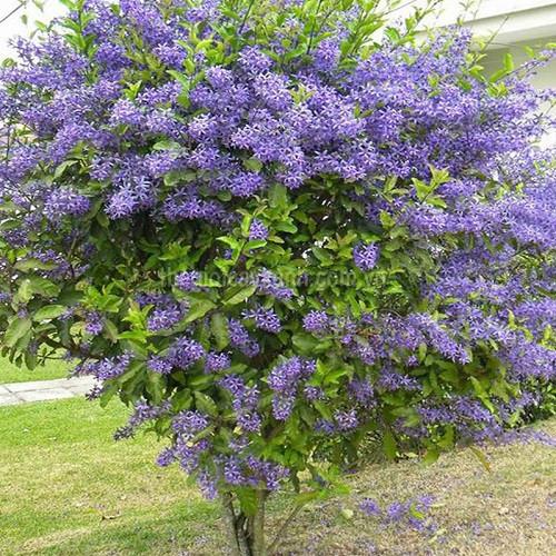 Cây hoa mai xanh - Địa chỉ bán uy tín và chất lượng