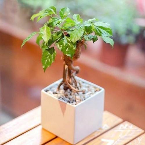Cây kim ngân – loại cây phong thủy để bàn