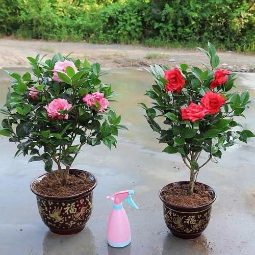 Cây trà thâm bát diện - Hướng dẫn cách trồng và chăm sóc