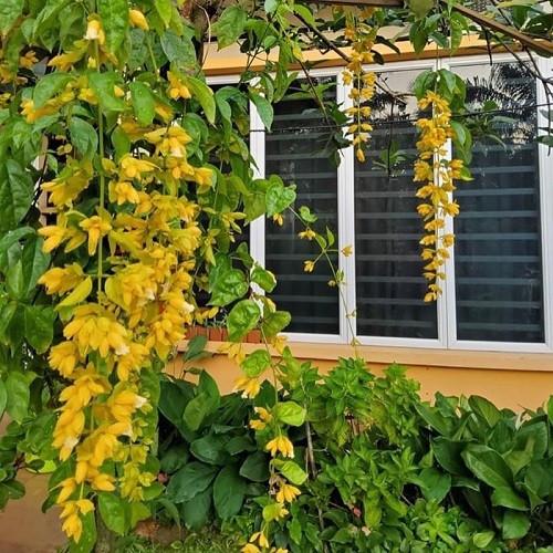 Hoa lan hoàng dương - Cách trồng và nơi bán cây giống uy tín